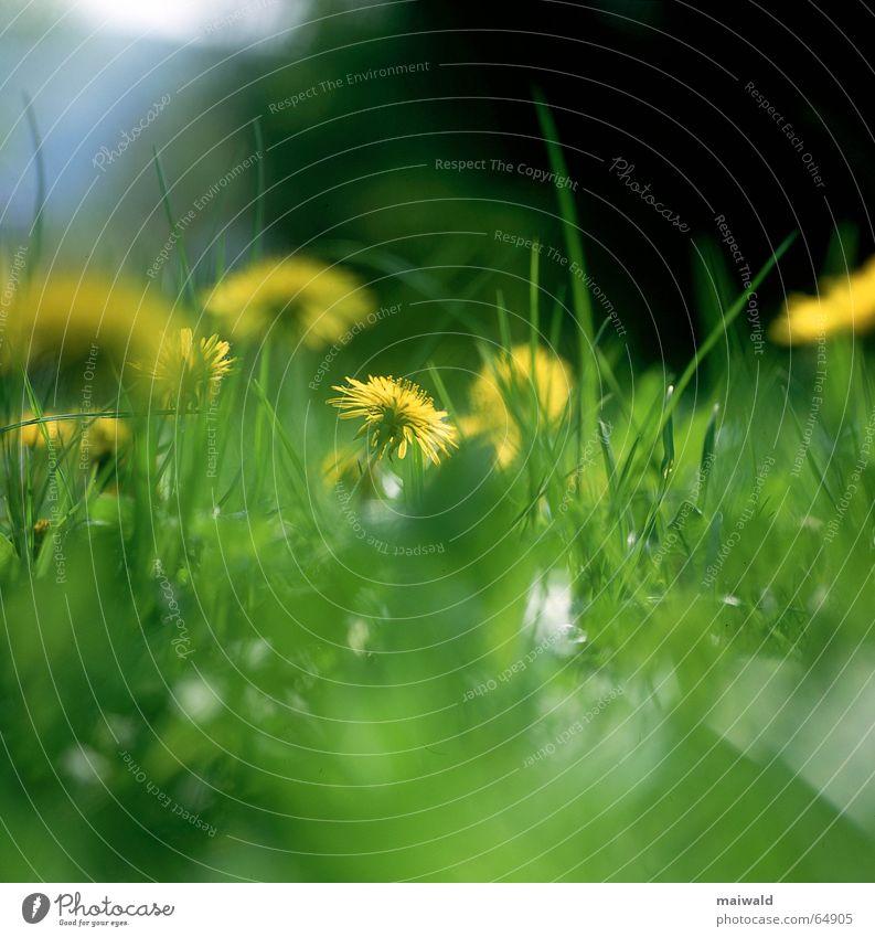 25. Mai Wiese Blume Blüte Löwenzahn Gras grün gelb knallig Frühling mehrfarbig Freizeit & Hobby faulenzen träumen Außenaufnahme Tiefenschärfe Froschperspektive