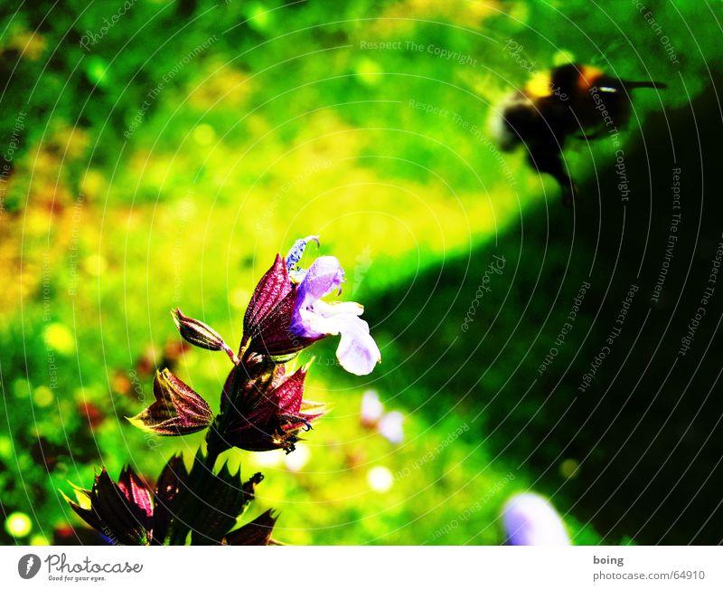 Abstauber Hummel Blüte Blume Salbei Freiheit Schatten Biene bestäuben Honig leer Staubfäden Sammlung fliegen Insekt Schweben Pollen Nektar Heilpflanzen
