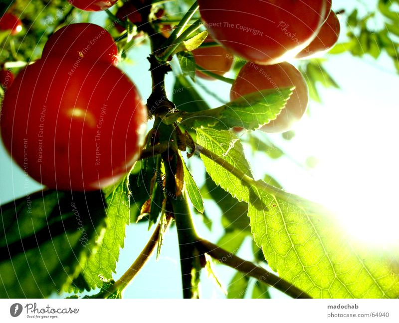 KIRSCHE |  | kirschen obst sommer sonne glück freude vitamine Himmel grün schön Baum rot Pflanze Sonne Sommer Freude Erholung Ernährung Wärme Blüte Garten Frucht Trinkwasser