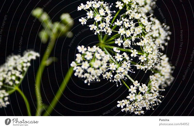 Wiesenblume Blume Gras Sommer