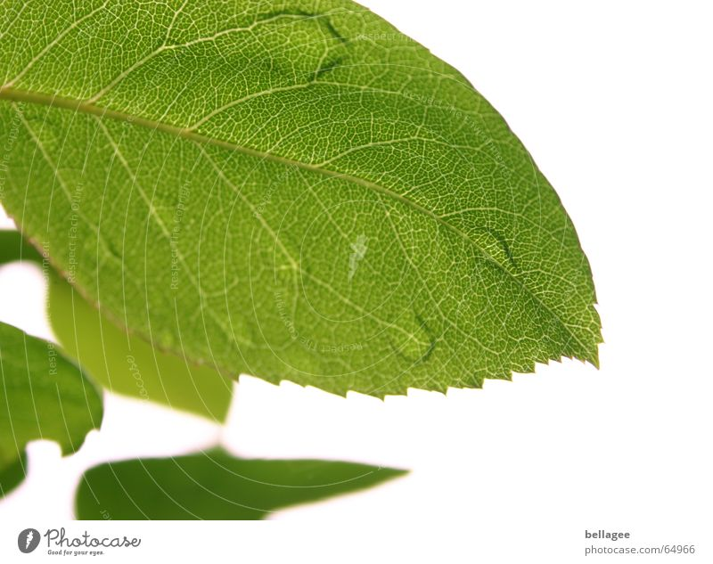 wenn blätter weinen Natur weiß Baum grün Blatt Wassertropfen Gefäße
