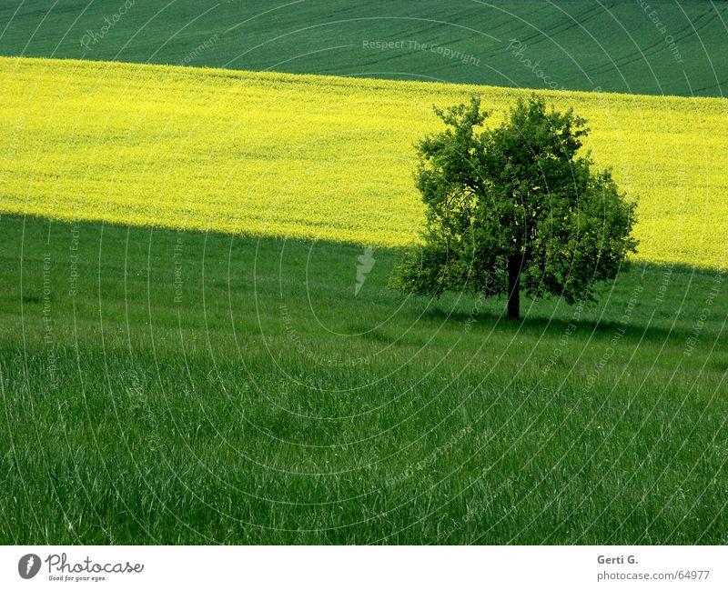 quer_feld_ein grün gelb Raps Wiese Gras Feld Rapsfeld Baum Einsamkeit einzeln Baumschatten Streifen gestreift graphisch Sommer Farbe Single Schatten verrückt