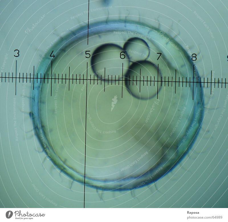 Medaka II Haare & Frisuren Studium Wachstum beobachten Ei zeichnen Biologie forschen Entwicklung Skala untersuchen Praktikum Eigelb Mikroskop Fortpflanzung Embryo