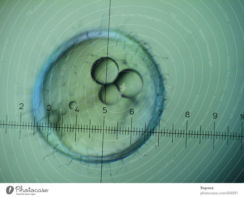 Japanischer Reiskärpling oder Medaka III Zoologie Praktikum Mikroskop entdecken Embryo Chorion Entwicklung Wachstum Studium Biologie Skala mikroskopieren Blick