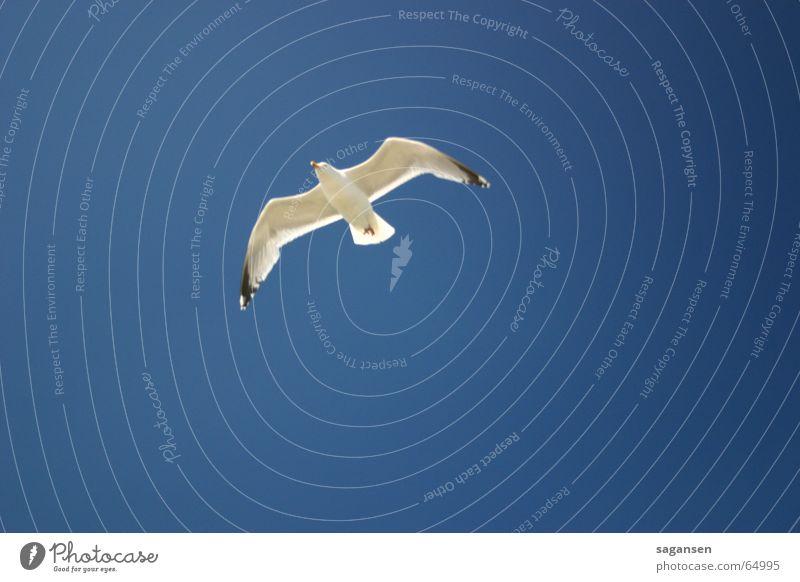 Möwe Himmel blau Vogel fliegen Flügel