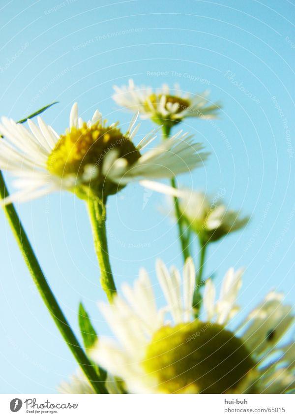 Zum HimmeL empoR Natur Himmel weiß Blume gelb Blüte Freiheit zart aufwärts ökologisch zerbrechlich hell-blau