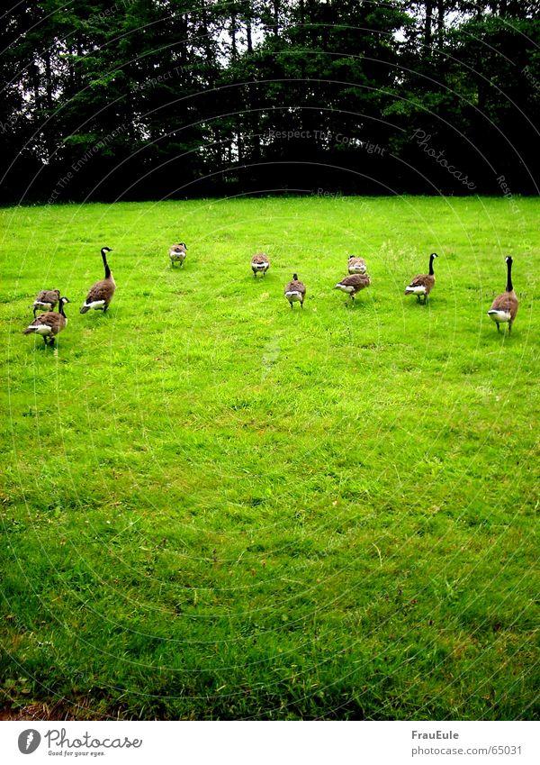 Flucht vor dem Unwetter Ferien & Urlaub & Reisen grün Baum Wald kalt Wiese Bewegung Gras Vogel Zusammensein Regen Angst mehrere Feder laufen Ernährung