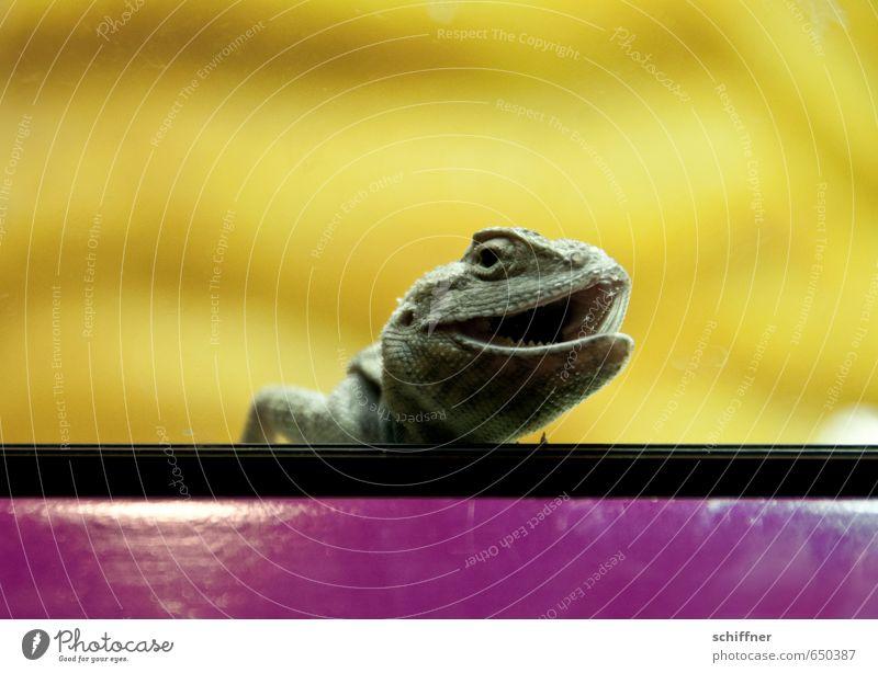 Haha! Frauenliegestützen! Tier Haustier Tiergesicht Zoo 1 lachen gelb violett Agamen Ecke Terrarium Auge Maul Tierporträt tierisch Neugier erstaunt Offener Mund
