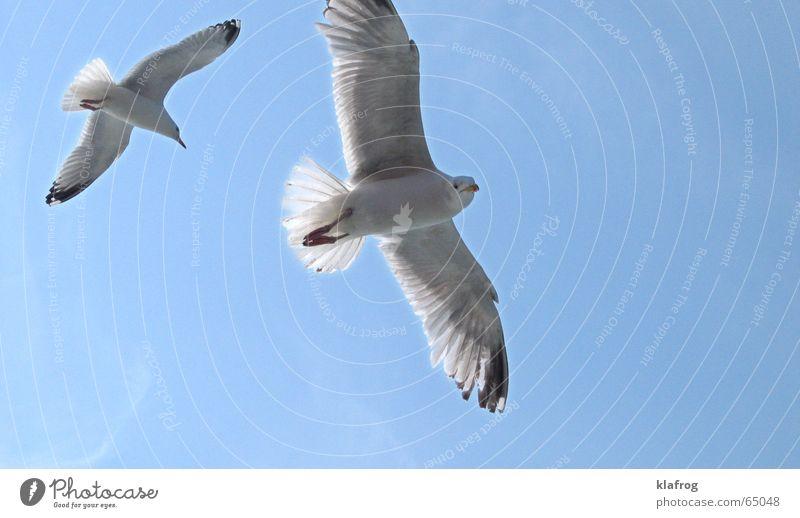 Zwei machen einen Sommer Himmel blau Ferien & Urlaub & Reisen Meer Küste Freiheit Vogel Wind fliegen Tierpaar frei paarweise Feder Flügel Neugier