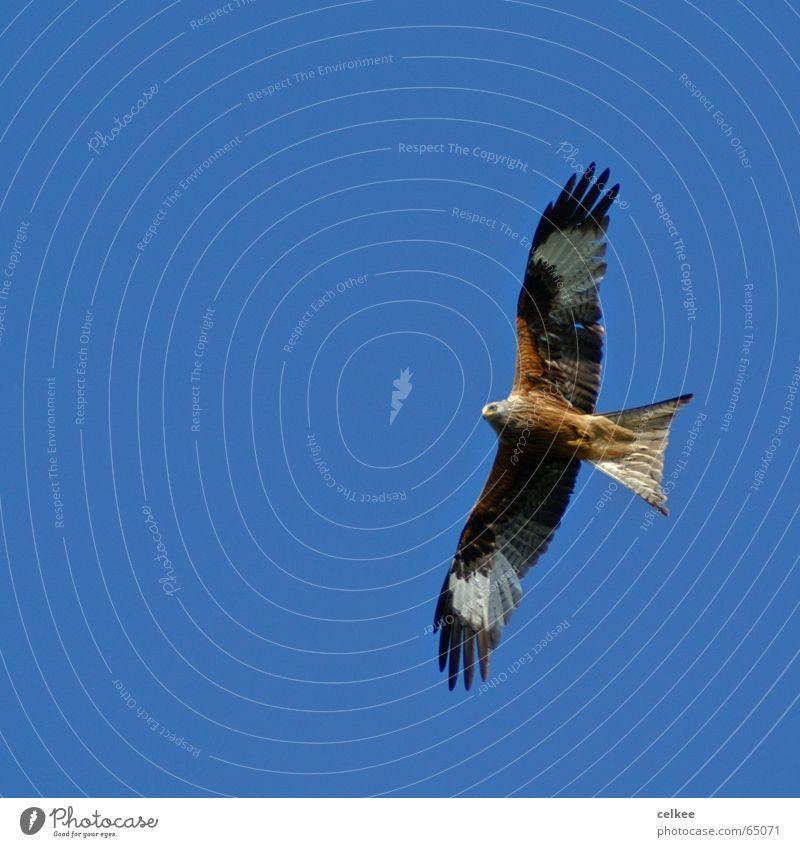 fly away Milan Vogel groß Spannweite rot greifvogel fliegen vogel des jahres