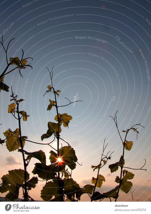 das beste am wein... Frucht Ernährung Alkohol Sekt Prosecco Sommer Sonne Gastronomie Natur Pflanze Himmel Blatt alt genießen lecker Romantik Beleuchtung Wein