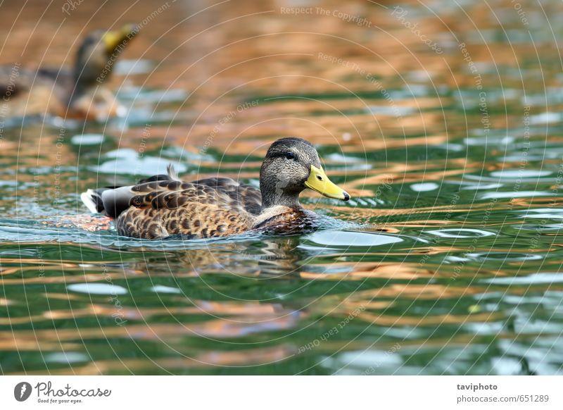 Stockente beim Schwimmen auf der Wasseroberfläche schön Sommer Frau Erwachsene Umwelt Natur Tier Park Teich See Fluss Vogel wild braun grün Farbe Ente Tierwelt