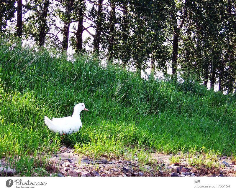 ohne tarnung Gans Albino Schnabel Tier Lebewesen Ernährung weiß Wald Baum Wiese grün Reflexion & Spiegelung Natur intensiv Wildnis Gras Außenaufnahme Ente