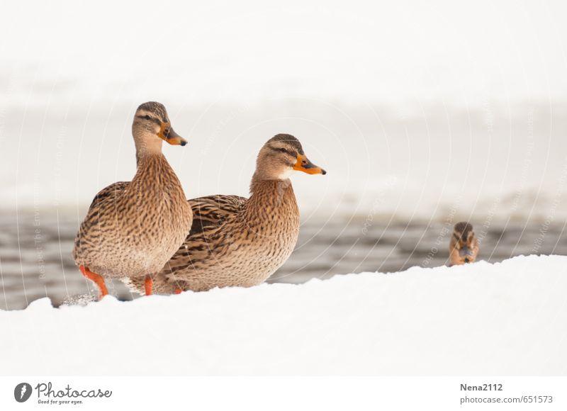 Wetter | Arschkalt Umwelt Natur Tier Winter Nebel Eis Frost Schnee Park Feld Vogel 2 3 Tierpaar frieren gehen rennen Ente Entenvögel Entenschnabel Kaltfront