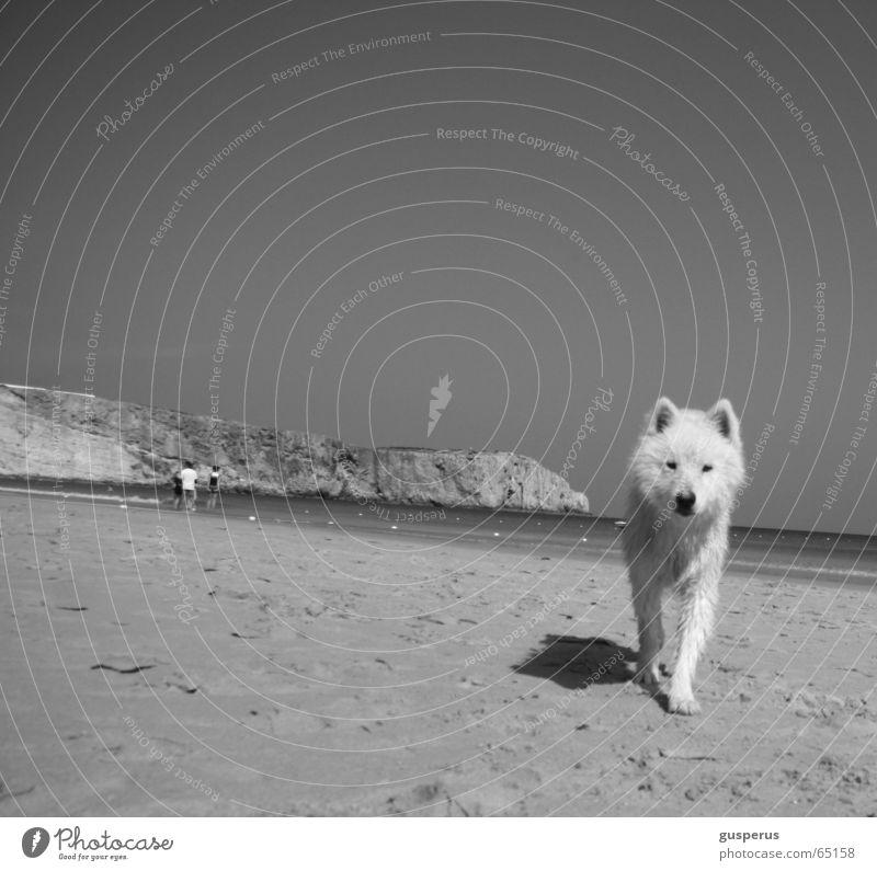 {greyhound} Hund Husky Strand Physik Portugal schön Wärme Sand Wasser Bucht Schönes Wetter zutraulich junger hund Schwarzweißfoto dog heat water bay