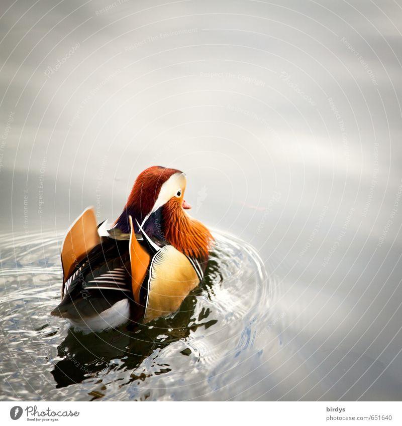 Mandarinente Wasser Teich See Ente 1 Tier Schwimmen & Baden ästhetisch exotisch positiv schön mehrfarbig ruhig Leben Bewegung Natur Wellen Erpel Farbfoto