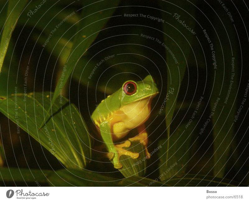 Night frog Nahaufnahme Frog jungle Detailaufnahme night
