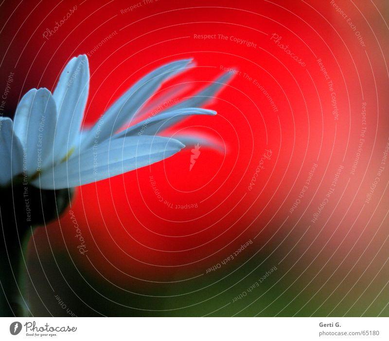 Er liebt mich Natur weiß Blume rot Teilung Blütenblatt Gänseblümchen Margerite Versuch Hälfte Zerreißen Orakel Liebesgruß Liebestest