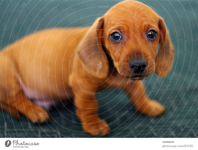 Little doggy pet animal dackyl inddoor shooting bockeh