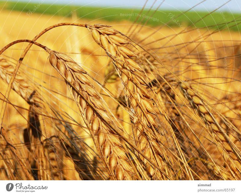 Die Zeit ist reif gelb Weizen Pflanze Sommer Gesundheit frisch Natur Getreide