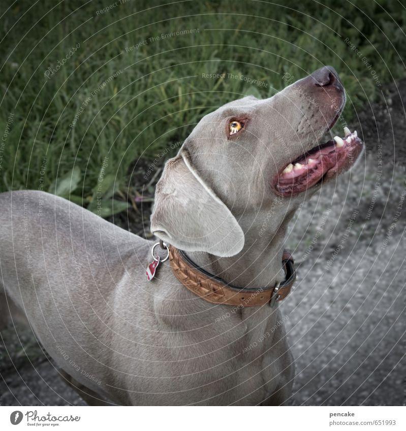 Dem zeig ich mal meine Zähne! Hund ruhig Tier grau Freundschaft Abenteuer Freundlichkeit Zeichen Gebiss Partnerschaft Haustier Spazierweg Treue Weimaraner Hundeblick