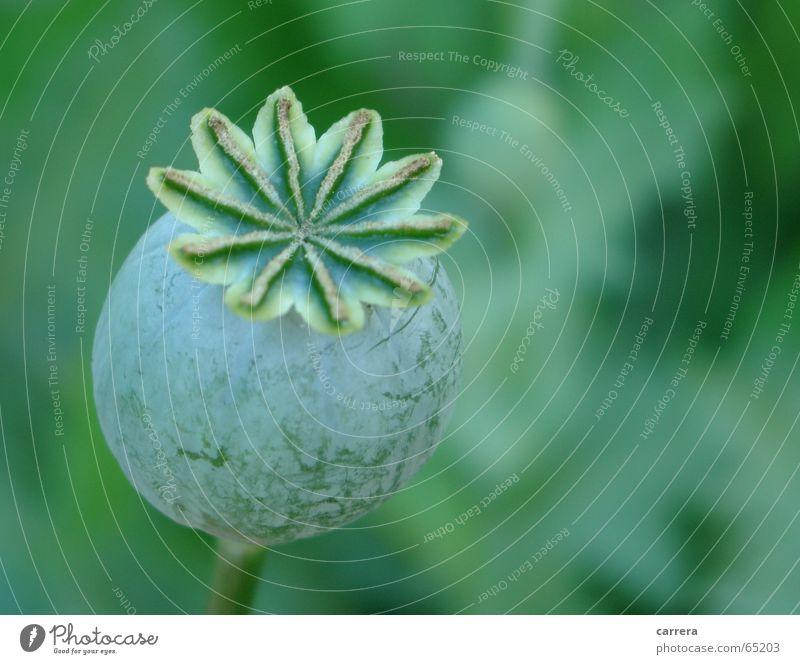 Mohnkapsel Saatgut grün Blume rund geschlossen unreif Wiese Grünfläche Pflanze Makroaufnahme Nahaufnahme Samen Garten garden round