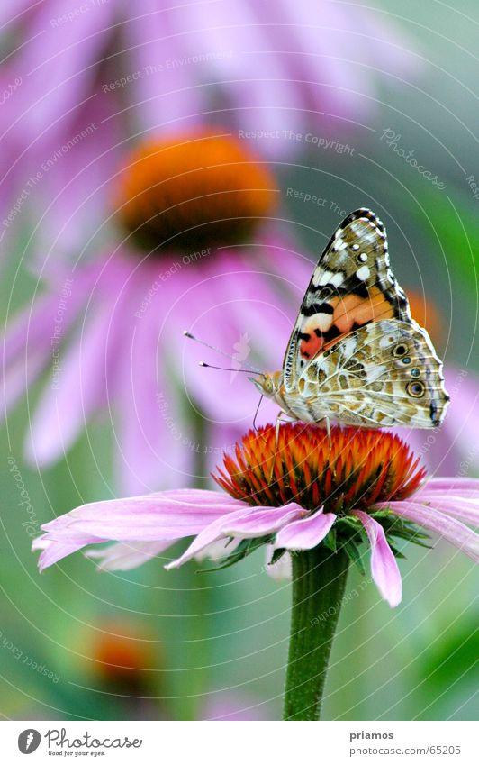Insel der Seeligen Schmetterling Blume mehrfarbig Fühler färbig flower colour Flügel