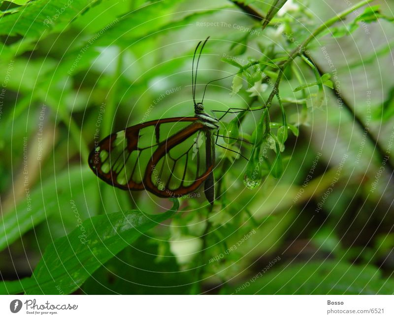 Butterfly Costa Rica Verkehr transparant wings jungle Detailaufnahme Schmetterling
