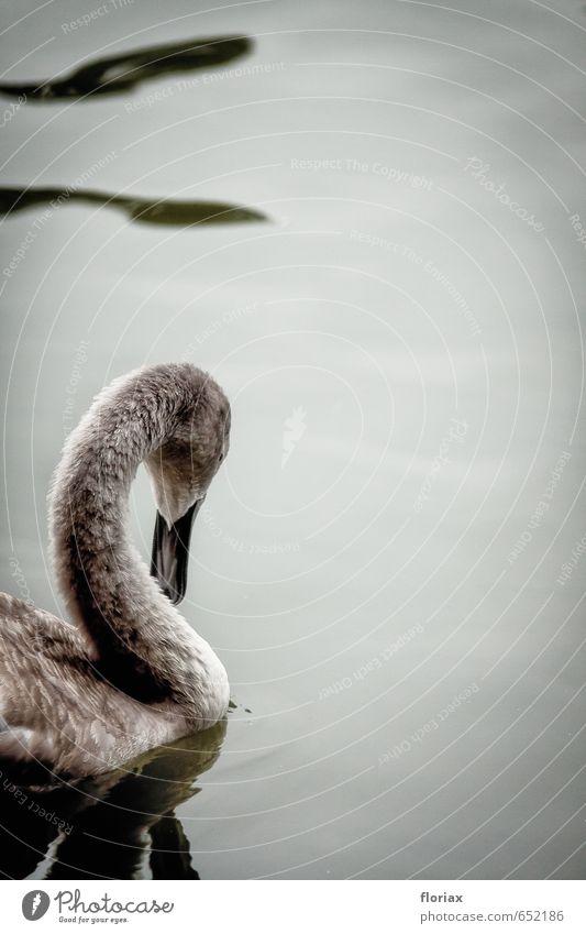 jung & anmutig Wasser Tier Tierjunges grau Schwimmen & Baden See Linie Vogel Park elegant Feder Gelassenheit Bogen Schwan Tierliebe Anmut