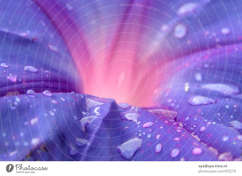 drops on purple flower Blume blute vulcan burst flames Tropfen