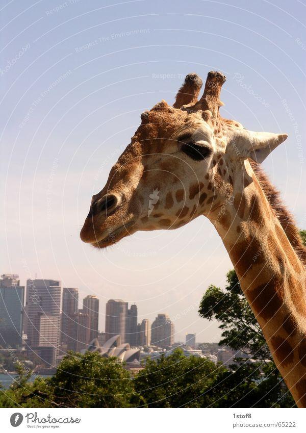 Sydneysider Stadt Tier Leben Landschaft Kunst Zoo Skyline Schönes Wetter Giraffe