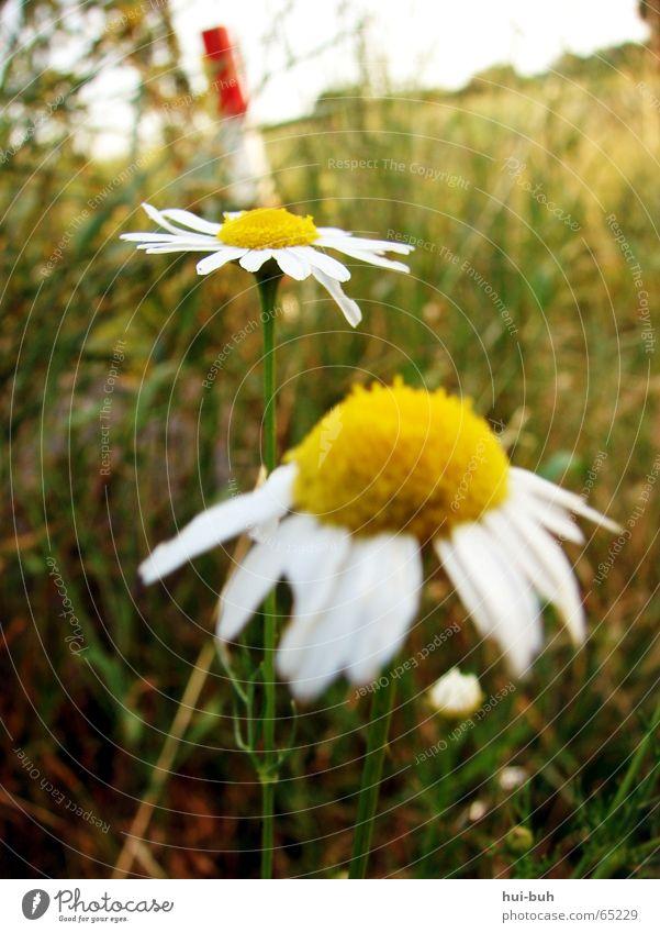 RAUH Blume Gras rot weiß Horizont grün gelb Wiese Stengel Blatt Baum Pfosten Himmel Bodenbelag paarweise