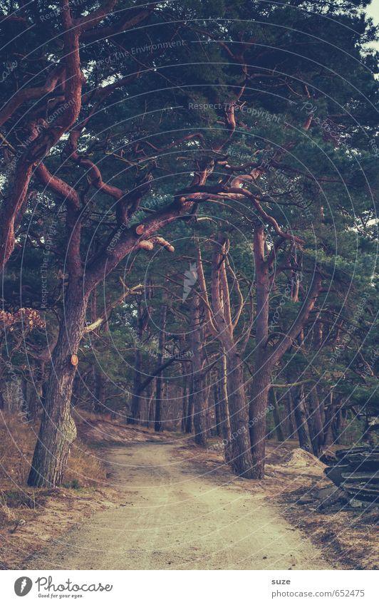 Naturpfad Umwelt Landschaft Pflanze Erde Baum Park Wald Wege & Pfade Wachstum dunkel fantastisch groß hoch natürlich braun grün Idylle Ziel Kiefer Baumkrone