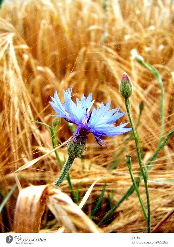 Mitten drin Blume Einsamkeit Wiese Feld Korn Kornfeld Kornblume