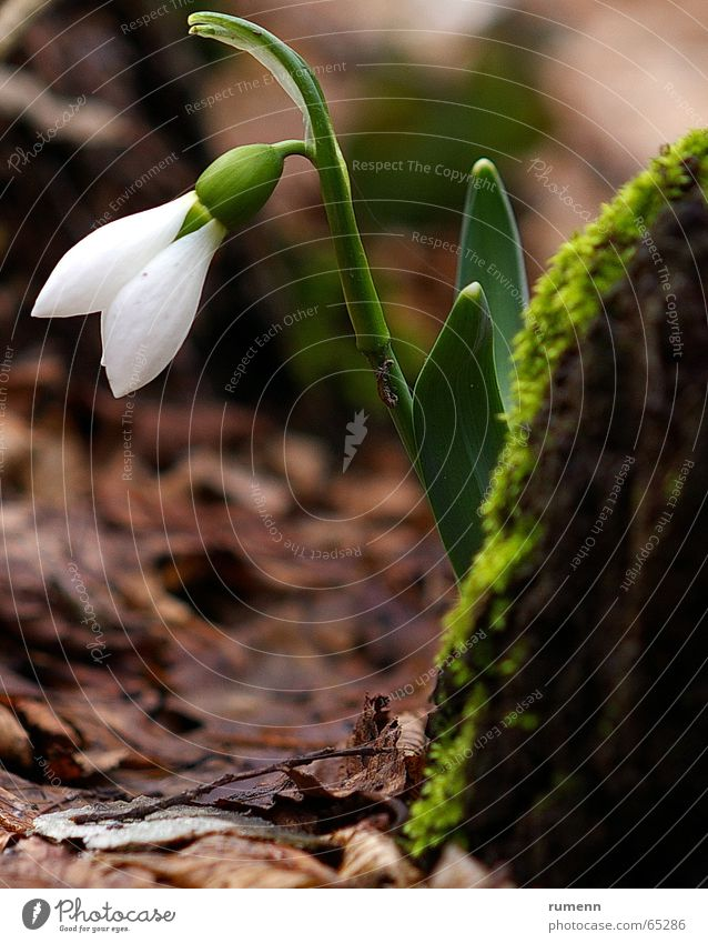 snowdrop Natur Winter