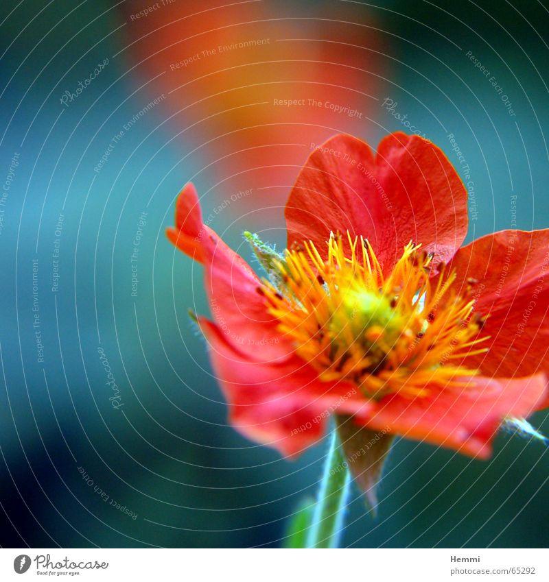 Sommerblume schön Blume Pflanze rot gelb Herbst Blüte Frühling Garten