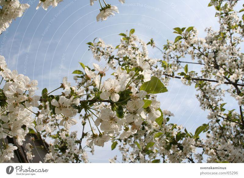 Kirschblüten Himmel Baum Blüte Kirsche