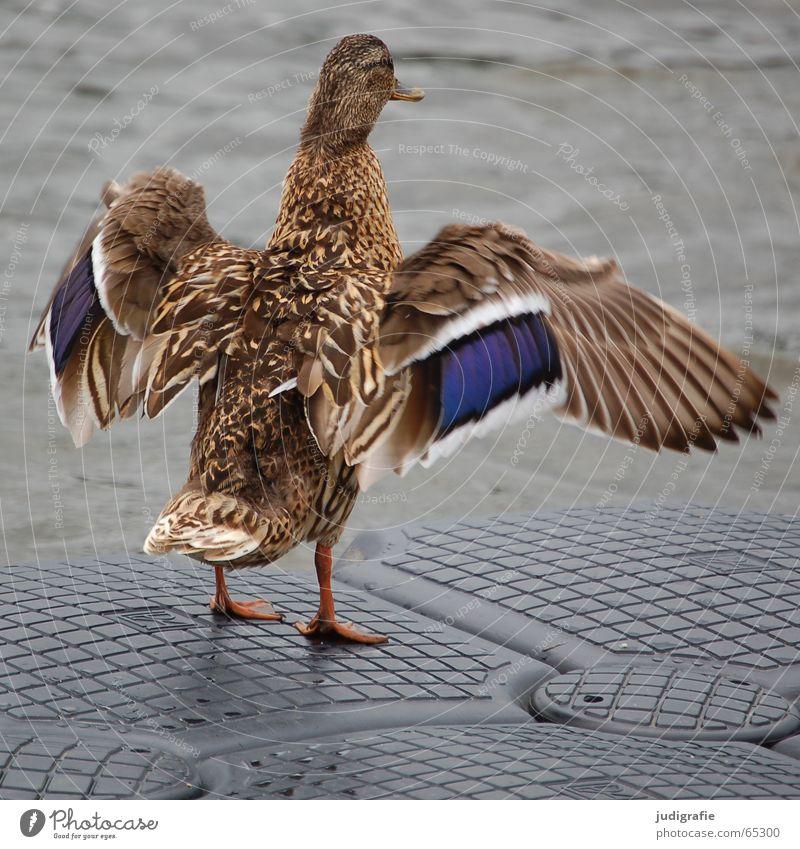 Flügelschlag Wasser blau braun Vogel Feder Steg Ente Tier Stockente