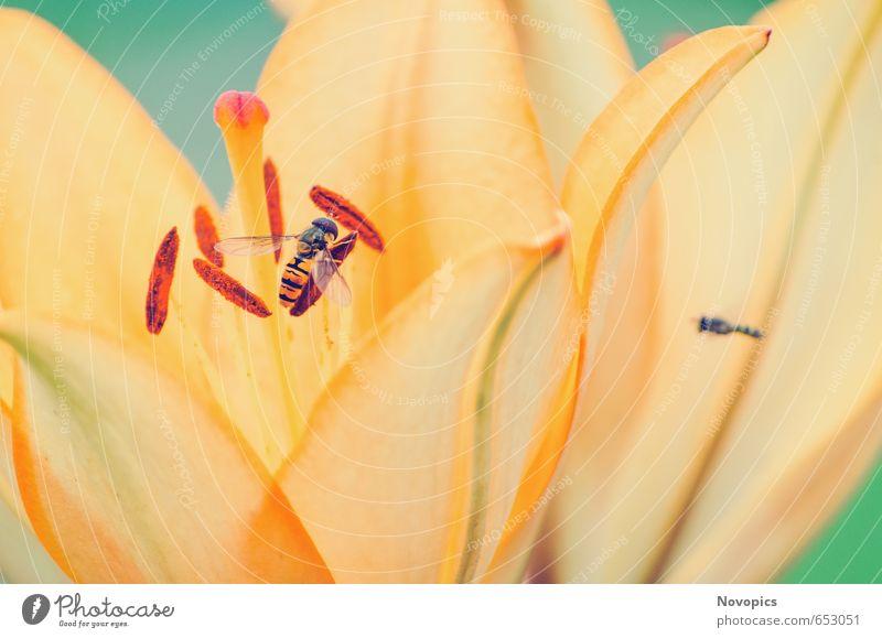 Lilium II Natur Pflanze Tier Blume Blüte Wildtier Fliege Flügel 2 gelb grün rot Lilien Insekt Schwebfliege Gartenpflanzen orange zart Blumenbild planen flower
