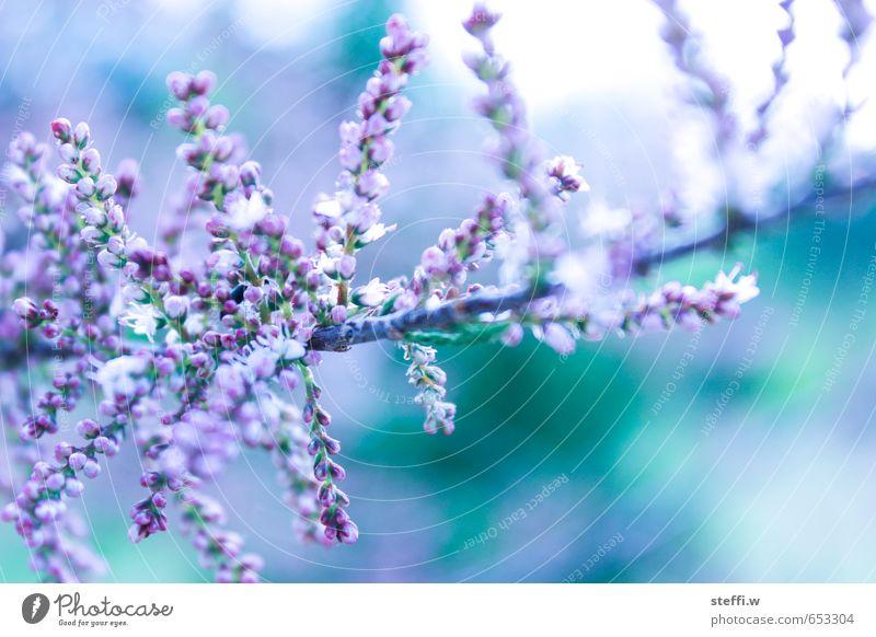 blühender zweig Natur Pflanze Sommer Blüte Garten Sträucher violett türkis