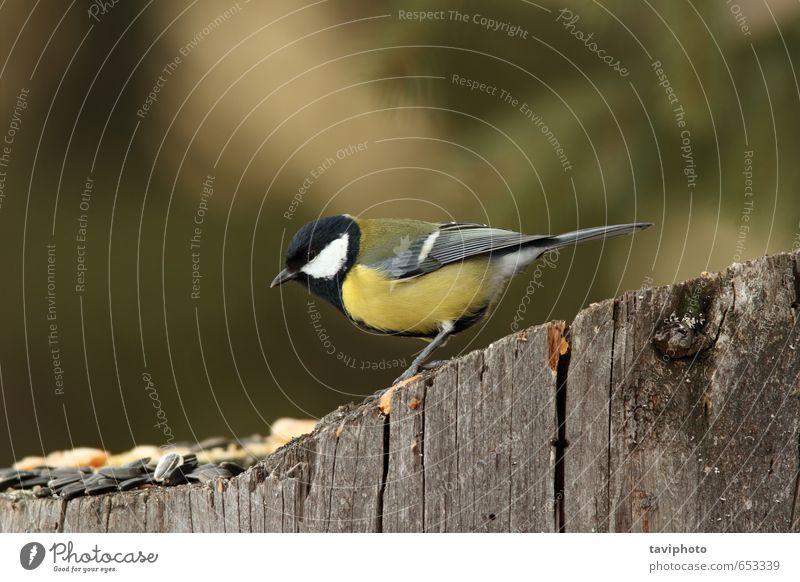 Kohlmeise auf einem Stumpf mit Samen Essen schön Winter Garten Umwelt Natur Landschaft Tier Vogel füttern klein niedlich wild gelb weiß Appetit & Hunger