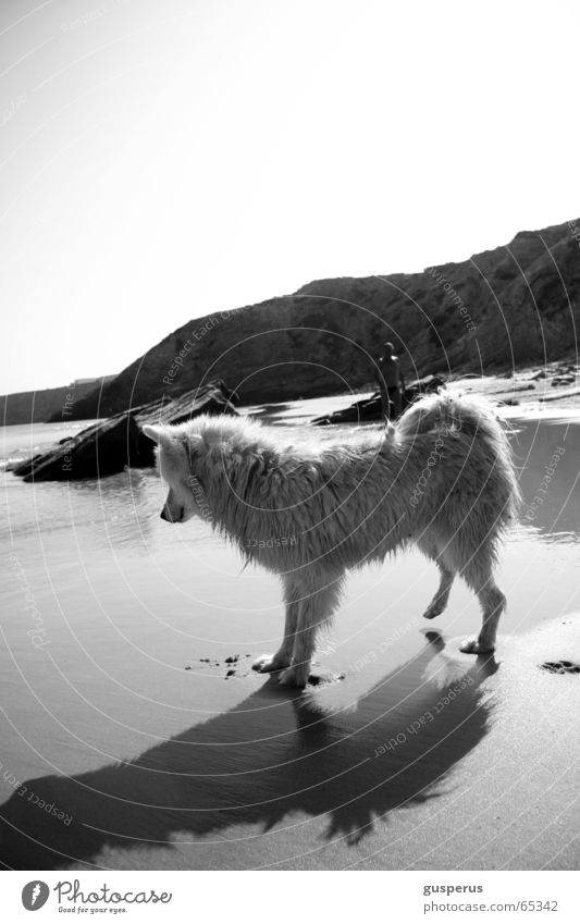 {greyhound II} Wasser schön Strand Hund Wärme Sand Physik Bucht Schönes Wetter Portugal Husky