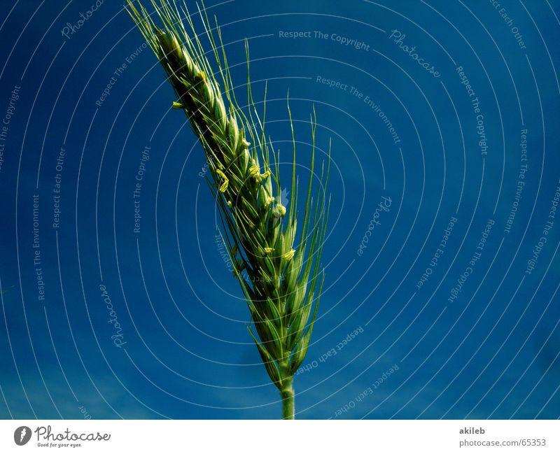 Wenn ich mal groß bin ... Himmel blau grün Sommer ruhig Erholung gelb Feld Wetter Wind Hoffnung Landwirtschaft Getreide Korn krumm Roggen