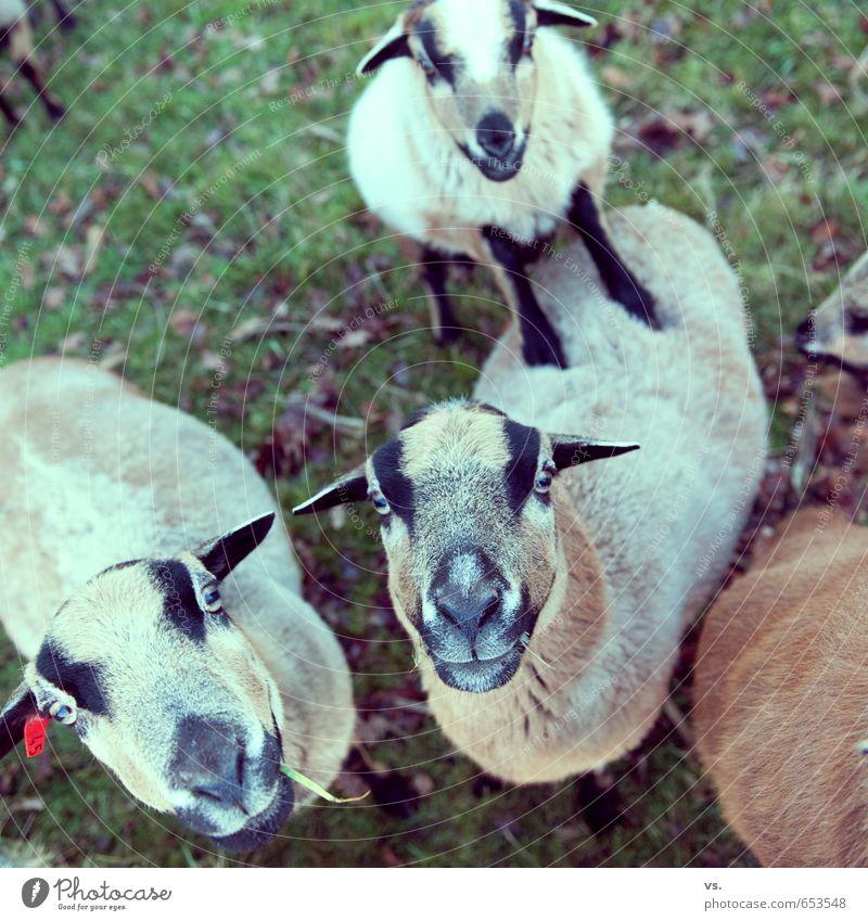 Ziegen, die auf Männer starren. Tier Wiese Tiergruppe Neugier Fressen Grill füttern Nutztier Herde Streichelzoo Vogelperspektive