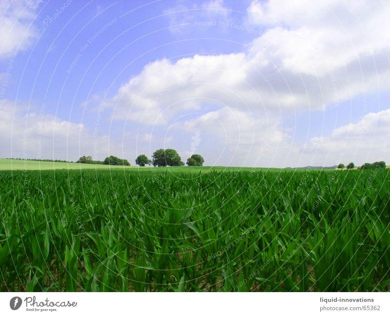 heranwachsendes Maisfeld Horizont Wolken Wuppertal Baum grün Himmel