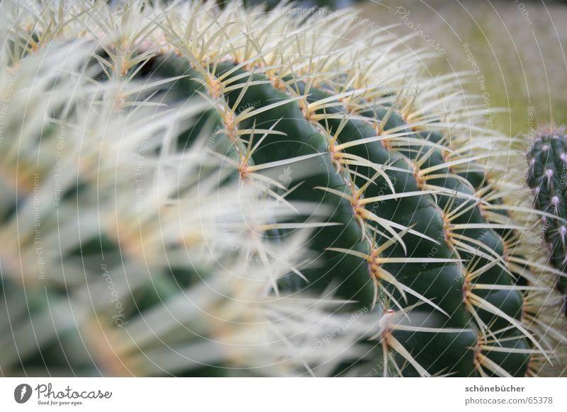 gestochen scharf Kaktus Dorn weiß Unschärfe grün dick Frankfurt am Main Physik Innenaufnahme Stachel piekst pieken Schmerz Perspektive palmengarten Wärme