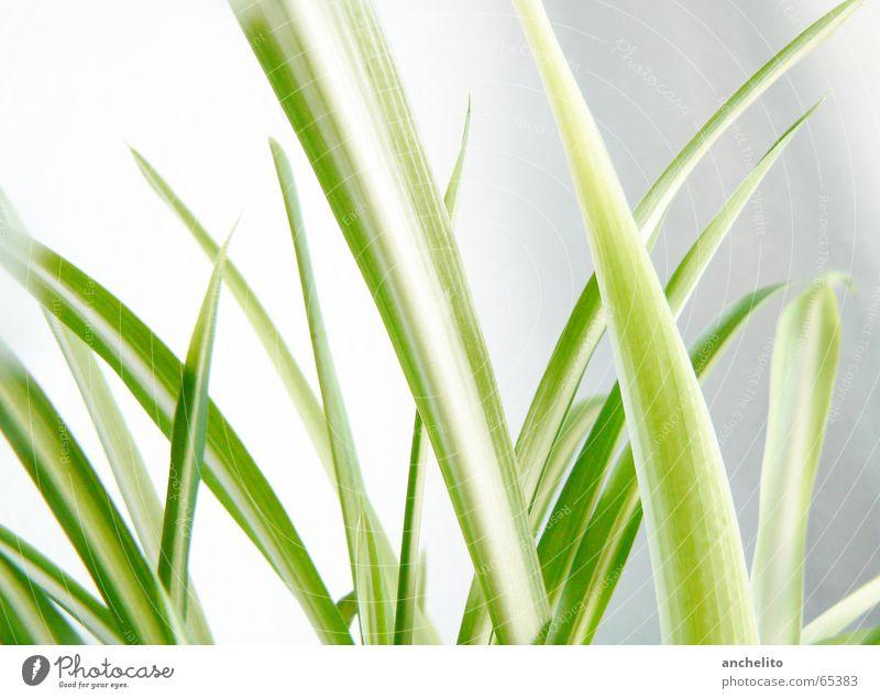 Grün auf Weiß Gras Wand grün weiß Halm Pflanze Natur ruhig Farbverlauf Makroaufnahme Nahaufnahme grass white culm stem blade spare leaf leaves sharp silence