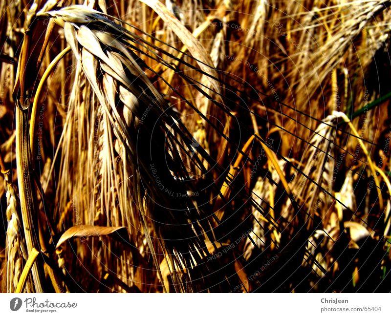 Titellos Natur gelb Feld Getreide Halm Korn Belichtung Weizen Gerste dunkelgelb