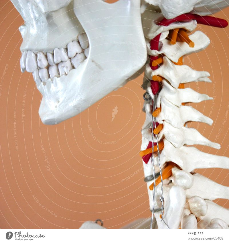 Grinsebacke Mensch Kopf lachen Gesundheitswesen Zähne Dinge grinsen Hals Wange Baugerüst Skelett Schädel Kiefer Nacken Wirbelsäule