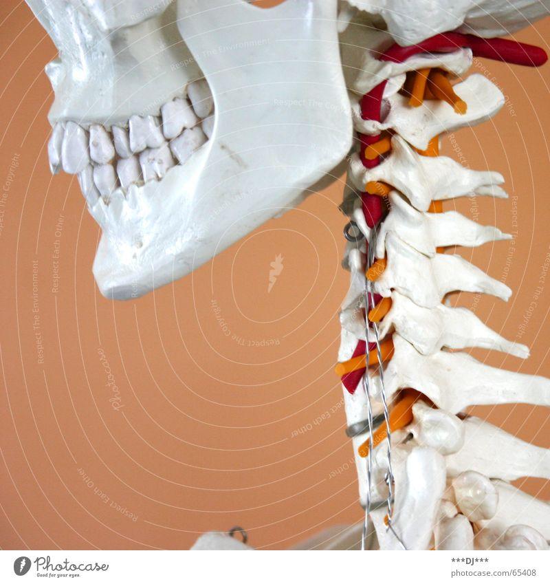 Grinsebacke Skelett Wange Gesundheitswesen Dinge Wirbelsäule Nacken Kopf Schädel lachen grinsen Kiefer Baugerüst Mensch Hals Zähne